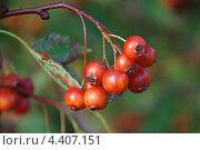 Купить «Боярышник обыкновенный или колючий (Crataegus oxyacantha)», эксклюзивное фото № 4407151, снято 1 сентября 2009 г. (c) lana1501 / Фотобанк Лори