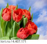 Букет красных тюльпанов на фоне голубого неба. Стоковое фото, фотограф Илюхина Наталья / Фотобанк Лори