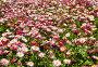 Поле розовых маргариток, фото № 4407179, снято 11 мая 2012 г. (c) ИВА Афонская / Фотобанк Лори