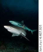 Багамские рифовые акулы. Стоковое фото, фотограф Игорь Анатольевич / Фотобанк Лори