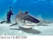 Тигровая акула и подводный фотограф. Стоковое фото, фотограф Игорь Анатольевич / Фотобанк Лори