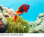Купить «Томатный клоун или амфиприон красный (Amphiprion frenatus, tomato clownfish) над актинией», фото № 4414283, снято 7 мая 2012 г. (c) Сергей Дубров / Фотобанк Лори