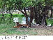 Тигр отдыхает на берегу. Стоковое фото, фотограф Olga Taranik / Фотобанк Лори