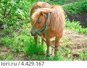 Купить «Пони», эксклюзивное фото № 4429167, снято 12 мая 2012 г. (c) Алёшина Оксана / Фотобанк Лори