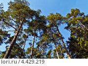 Купить «Кроны мачтовых сосен над головой на фоне голубого неба», фото № 4429219, снято 17 марта 2013 г. (c) Сергей Трофименко / Фотобанк Лори