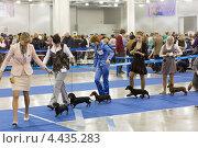 """Купить «На выставке собак """"Евразия"""". Ринг такс», эксклюзивное фото № 4435283, снято 23 марта 2013 г. (c) Сергей Лаврентьев / Фотобанк Лори"""