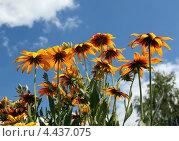 Купить «Рудбекия волосистая, или хирта — R. hirta L.», фото № 4437075, снято 1 июля 2012 г. (c) Ирина Горбачева / Фотобанк Лори