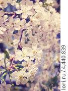 Купить «Цветущая вишня», фото № 4440839, снято 27 апреля 2012 г. (c) Юлия Маливанчук / Фотобанк Лори