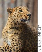 Купить «Леопард», фото № 4448627, снято 24 июня 2012 г. (c) Эдуард Кислинский / Фотобанк Лори