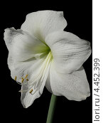 Купить «Белый цветок на чёрном фоне», фото № 4452399, снято 30 марта 2013 г. (c) Елена Алексеева / Фотобанк Лори