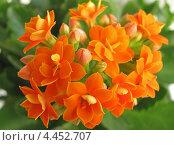 Купить «Оранжевые цветы Каланхоэ Блоссфельда крупным планом», эксклюзивное фото № 4452707, снято 9 марта 2013 г. (c) Ирина Водяник / Фотобанк Лори