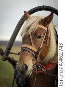 Голова лошади в упряжи крупным планом. Стоковое фото, фотограф Моисеева Светлана / Фотобанк Лори