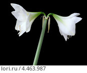 Белые цветы на чёрном фоне. Стоковое фото, фотограф Елена Алексеева / Фотобанк Лори