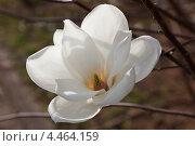 Купить «Цветущая белая магнолия Зибольда. Цветок крупным планом ( Magnolia sieboldii )», фото № 4464159, снято 9 апреля 2011 г. (c) Ольга Липунова / Фотобанк Лори