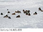 Купить «Утки на снегу», эксклюзивное фото № 4465499, снято 27 марта 2013 г. (c) Елена Коромыслова / Фотобанк Лори