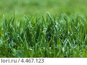Трав после дождя. Стоковое фото, фотограф Александра Задохина / Фотобанк Лори