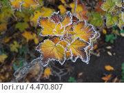 Листья в инее. Стоковое фото, фотограф Ольга Бережнова / Фотобанк Лори