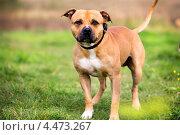 Вид на собаку породы американский стаффордширский терьер, бегущую по зеленному лугу летом. Стоковое фото, фотограф Николай Винокуров / Фотобанк Лори
