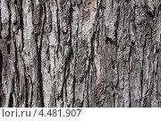 Купить «Фактура коры красного клена (Калининградский ботанический сад)», эксклюзивное фото № 4481907, снято 7 апреля 2013 г. (c) Ната Антонова / Фотобанк Лори