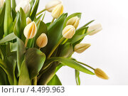 Букет белых тюльпанов с зелёными листьями. Стоковое фото, фотограф Максим Шебеко / Фотобанк Лори