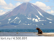 Купить «Медведь сидит у реки на фоне вулкана», фото № 4500891, снято 14 августа 2009 г. (c) DPS / Фотобанк Лори