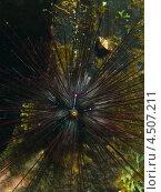 Купить «Морской еж диадема длинноиглая или диадема Сетосум (Diadema setosum, Diadem Needle-spined Sea Urchin)», фото № 4507211, снято 2 мая 2012 г. (c) Сергей Дубров / Фотобанк Лори