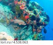 Купить «Крупная рыба на фоне яркого кораллового рифа», фото № 4538063, снято 4 мая 2012 г. (c) Сергей Дубров / Фотобанк Лори