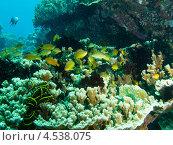 Купить «Стая сказочных окуньков (Anthiinae, Fairy basslets) над коралловым рифом», фото № 4538075, снято 7 мая 2012 г. (c) Сергей Дубров / Фотобанк Лори