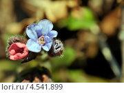 Медуница (Pulmonaria) Стоковое фото, фотограф Андрей Горшков / Фотобанк Лори