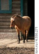 Лошадь Пржевальского (Equus ferus przewalskii) в зоопарке. Город Николаев, Украина. Стоковое фото, фотограф Щеголева Ольга / Фотобанк Лори