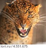 Купить «Агрессивный леопард», фото № 4551675, снято 8 января 2013 г. (c) Эдуард Кислинский / Фотобанк Лори