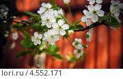 Вишня. Стоковое фото, фотограф Денис Воронцов / Фотобанк Лори