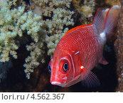 Морская рыба красного цвета среди кораллов. Стоковое фото, фотограф Дмитрий Самарцев / Фотобанк Лори