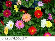 Купить «Цветы - однолетние георгины, рассада», фото № 4563371, снято 11 апреля 2013 г. (c) Олег Пчелов / Фотобанк Лори