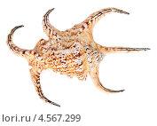 Купить «Морская ракушка, изолировано на белом фоне», фото № 4567299, снято 28 февраля 2013 г. (c) Игорь Долгов / Фотобанк Лори