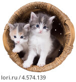 Два голубоглазых пушистых котенка в корзине. Стоковое фото, фотограф Ирина Кожемякина / Фотобанк Лори