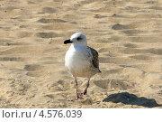 Чайка на песке. Стоковое фото, фотограф Анна Демьяненко / Фотобанк Лори