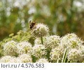 Купить «Оса на цветке дягиля», фото № 4576583, снято 17 июля 2010 г. (c) Евгений Ткачёв / Фотобанк Лори