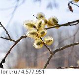 Купить «Цветущая ива козья (Salix caprea)», эксклюзивное фото № 4577951, снято 23 апреля 2013 г. (c) Алёшина Оксана / Фотобанк Лори