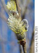 Купить «Цветущая ветка ивы», эксклюзивное фото № 4578351, снято 29 апреля 2013 г. (c) Елена Коромыслова / Фотобанк Лори