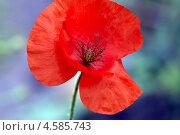 Бутон алого мака на абстрактном фоне (Scarlet poppy) Стоковое фото, фотограф Владимир Борисов / Фотобанк Лори