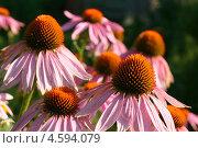 Купить «Цветет эхинацея пурпурная (Echinacea purpurea (L.) Moench)», эксклюзивное фото № 4594079, снято 30 июля 2011 г. (c) Щеголева Ольга / Фотобанк Лори