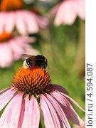 Купить «Крупный шмель на красивом цветке летним солнечным днем», эксклюзивное фото № 4594087, снято 30 июля 2011 г. (c) Щеголева Ольга / Фотобанк Лори