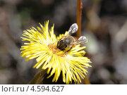Пчела опыляет цветок. Стоковое фото, фотограф Александр Хорхордин / Фотобанк Лори