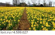 Купить «Сельская Голландия весной. Ветер колышет желтые нарциссы на поле после дождя (лат. Narcissus)», видеоролик № 4599027, снято 10 апреля 2013 г. (c) Виктория Катьянова / Фотобанк Лори