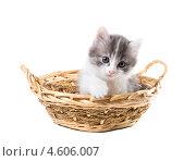 Купить «Очаровательный трехцветный котенок вылезает из  корзины», фото № 4606007, снято 8 мая 2013 г. (c) Ирина Кожемякина / Фотобанк Лори