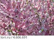 Миндаль декоративный в цвете. Стоковое фото, фотограф Липунов Леван / Фотобанк Лори