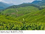 Чайная плантация в Индии (2012 год). Стоковое фото, фотограф Юлия Деденок / Фотобанк Лори