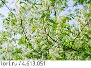 Купить «Цветущая черёмуха (Prunus padus)», фото № 4613051, снято 11 мая 2013 г. (c) Алёшина Оксана / Фотобанк Лори