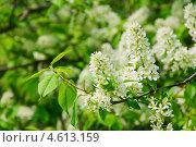 Купить «Цветы черёмухи (Prunus padus)», фото № 4613159, снято 11 мая 2013 г. (c) Алёшина Оксана / Фотобанк Лори